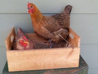 Coprice in the nesting box