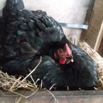 Why Chickens Go Broody and their Nature Changes?