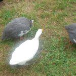 Angel - my Duck from Heaven!