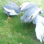 Guinea Fowl Behaviour Fighting Over Mates