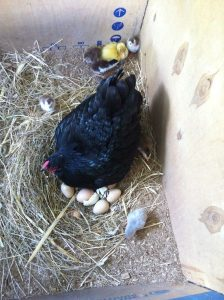 Guineas hatching