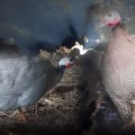 Guinea Fowls Miracle
