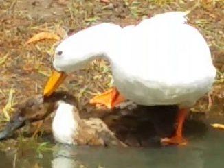 Ducks and love