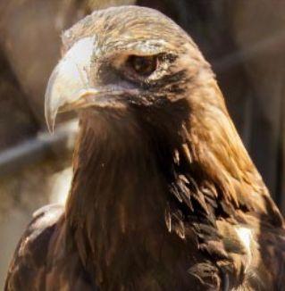 Wedge-tailed eagle Tasmania