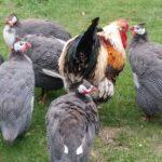 Guinea Fowl Characteristics