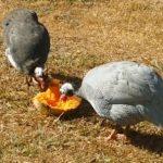 Guinea Fowl Individual Natures