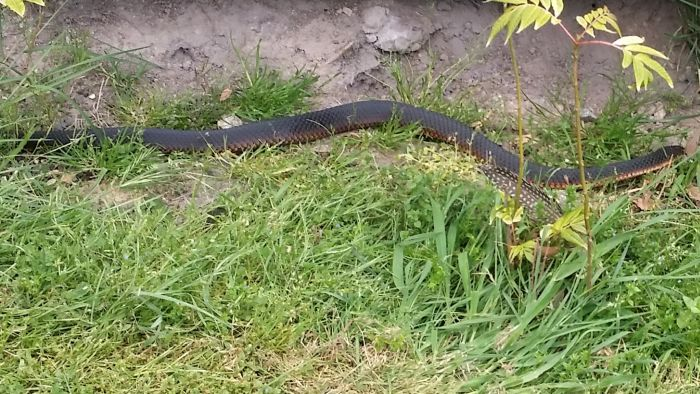 Tasmanian snakes on our property