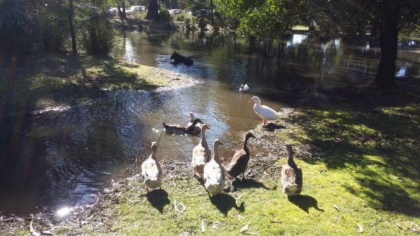 More area for ducks to swim in