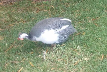 grace a femal guinea fowl