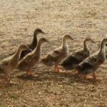 Why Ducks go Broody and How they Act