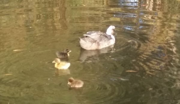 why ducks go broody Ducklings swimming with mum