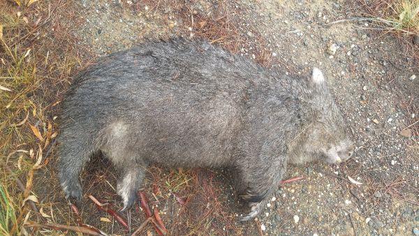 Wombat made his last journey