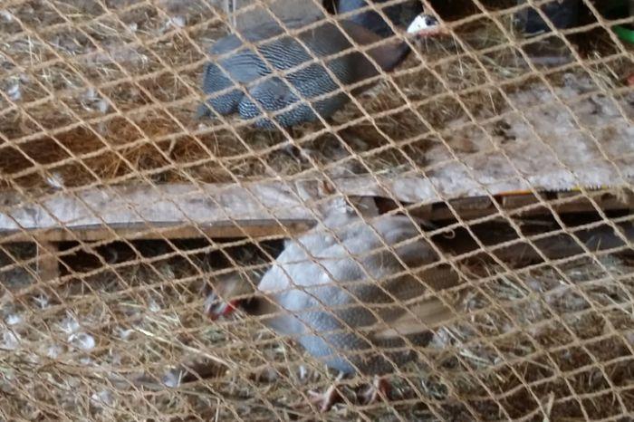 Two guinea fowls in pen for two week bonding