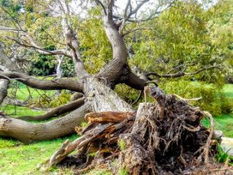 Tree falls in front yard